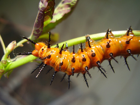 Orange Caterpillar